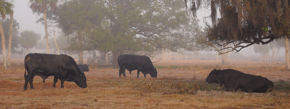 Lykes Ranch Cattle image